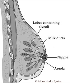 labeling of different breast parts