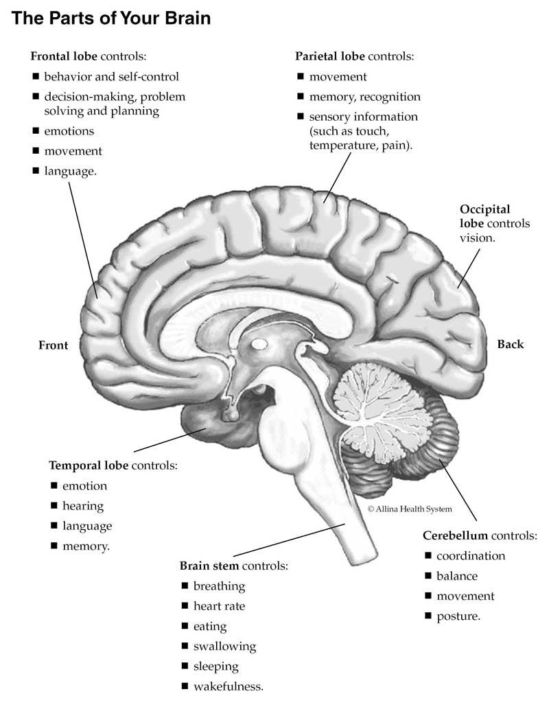 Understanding stroke: The parts of your brain